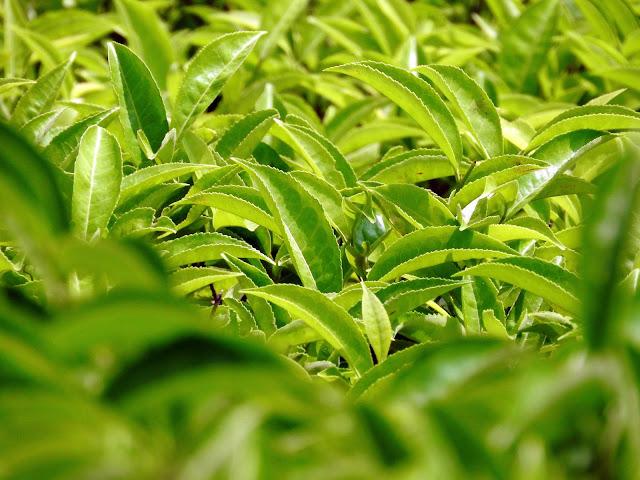Of tea and all things tea | Makaibari, Kurseong (Darjeeling) - West Bengal, India
