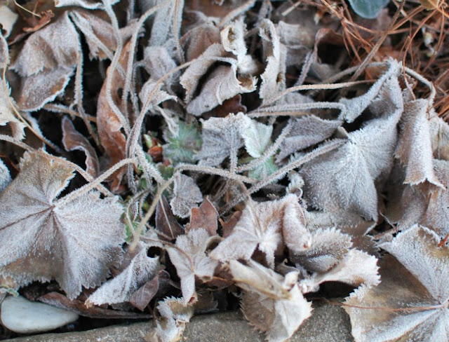 Lady's Mantle covered in frost