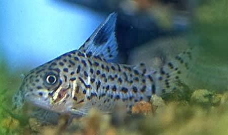 Corydoras Acrensis – Zırhlı Kedi Balığı
