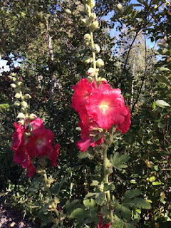 Hollyhocks in Bloom by Vicky Barney