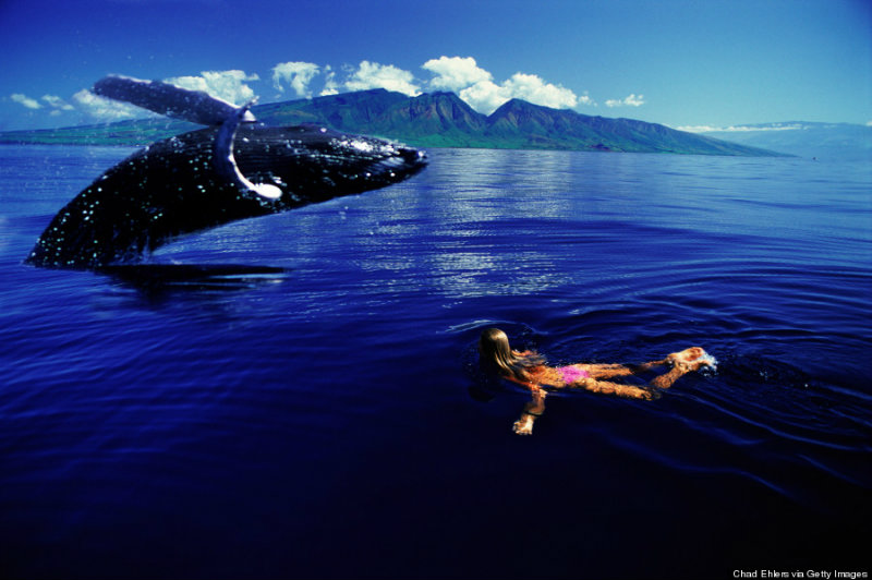humpback whale, hawaii, swimmer