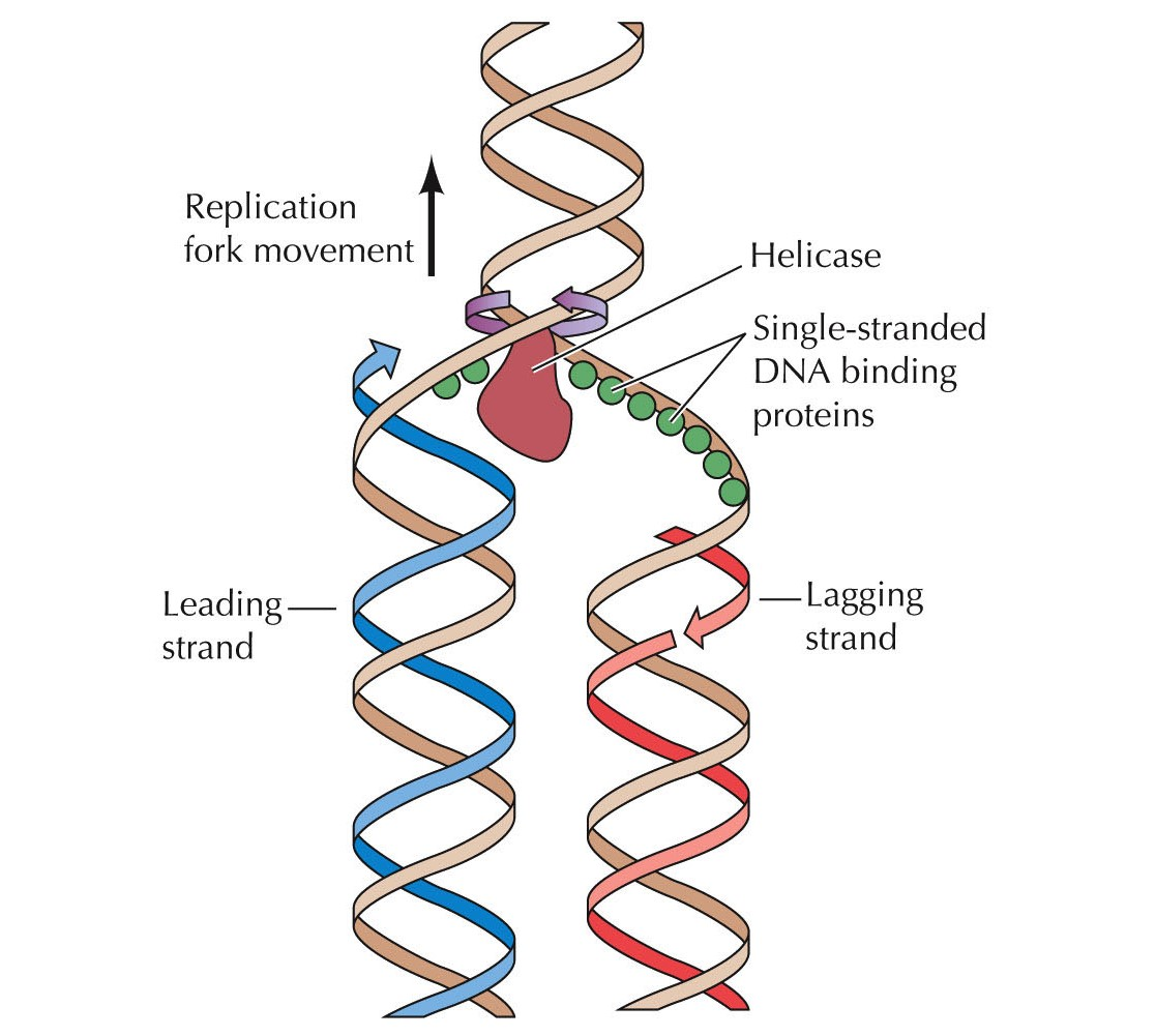 Sbk Introduction To Biochemistry Dna Replication