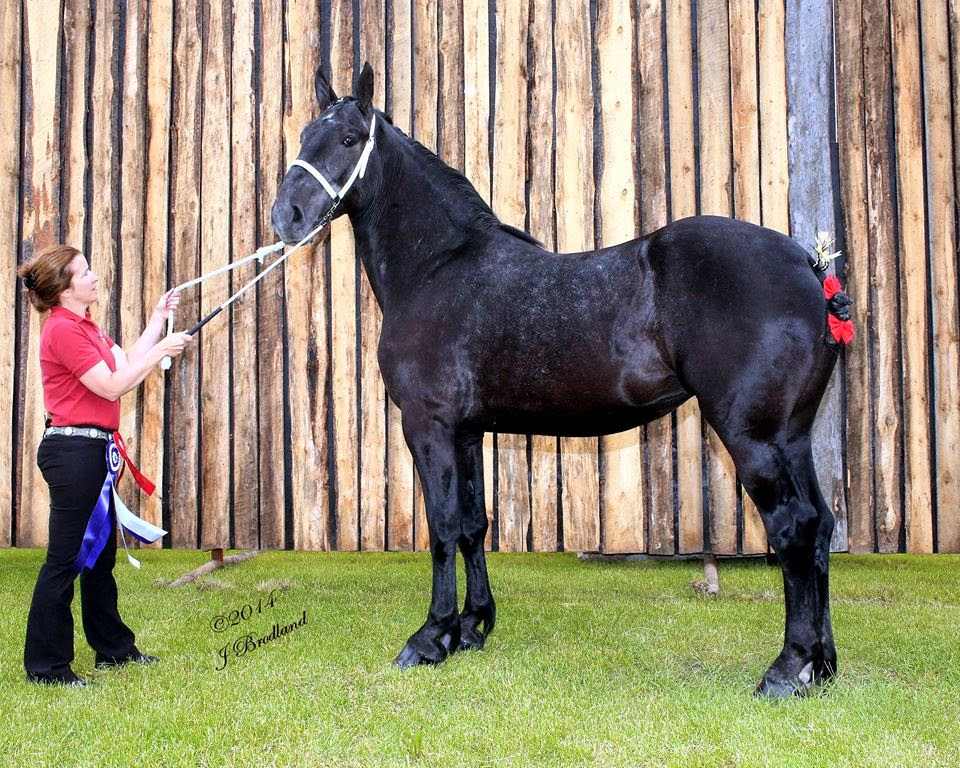 Eaglesfield Percherons Grand Champion Percheron Mare