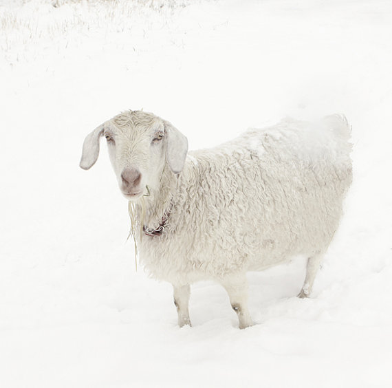 Beautiful white sheep by Lucy Snowe