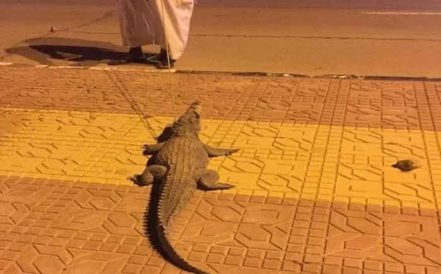 CROCODILE SEEN STROLLING ON THE STREETS OF SAUDI ARABIA