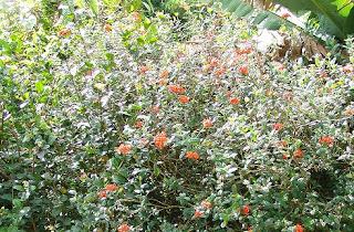 panama-rose plant