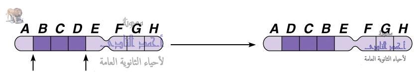 تصنيف الطفرات تبعاً لنوعها - ثانياً  الطفرات الصبغية - التغير فى تركيب الصبغيات - الإنقلاب -الثالث الثانوى