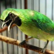 Cara Merawat Burung Cucak Ijo Dengan Buah Pisang Dan Apel