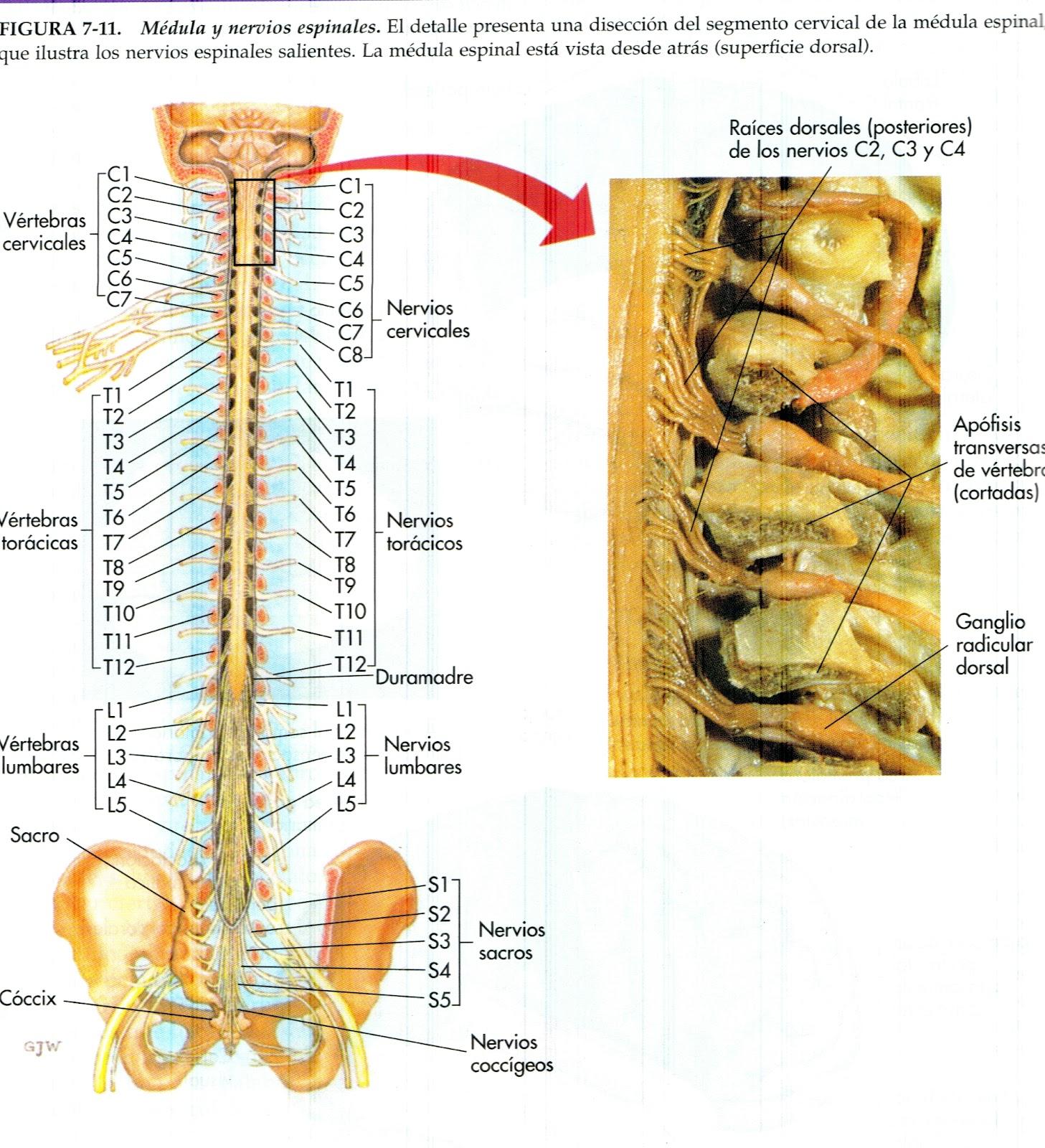The Spinal Cord The Spinal Cord Function In The Nervous