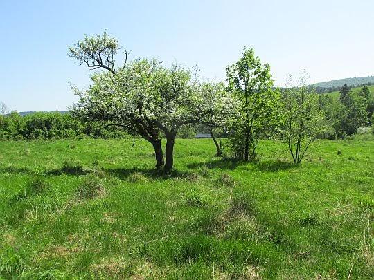 Łąki i drzewa owocowe w Wołowcu.