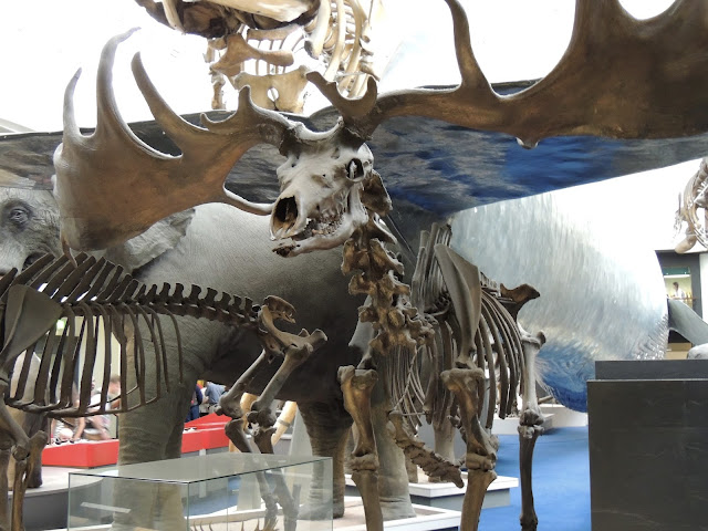 Skeleton of a deer