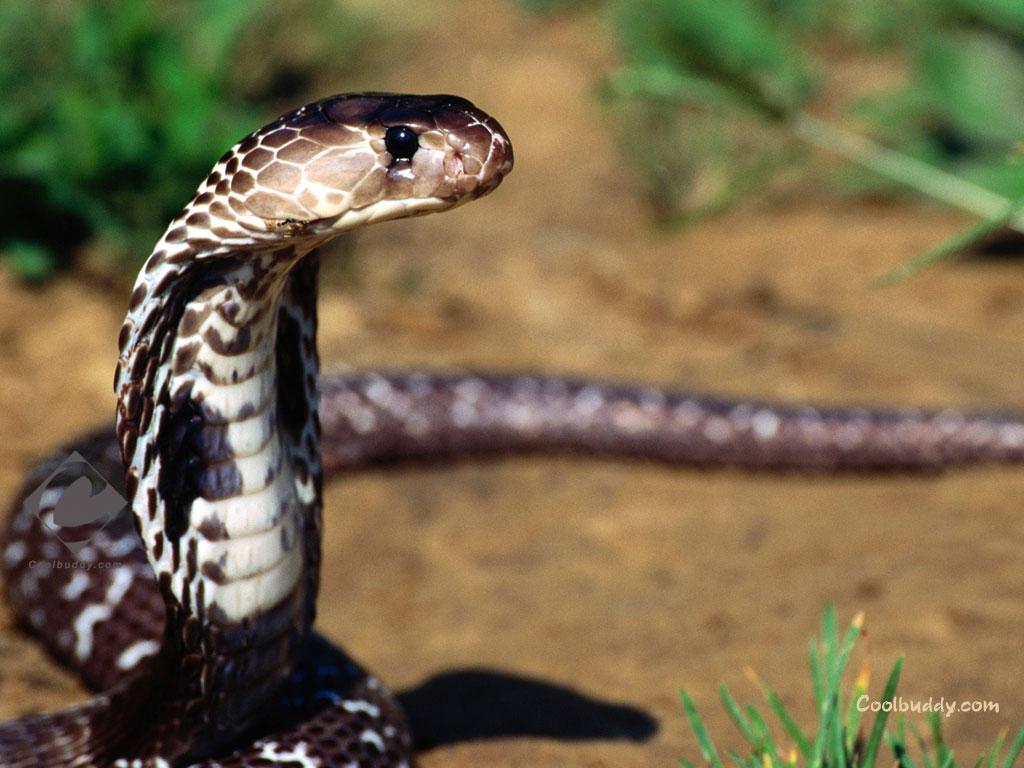 King Cobra Snake Photos: Animal Photo: King Cobra Snake