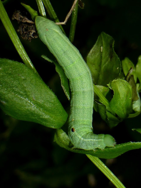 Deilephila porcellus caterpillar
