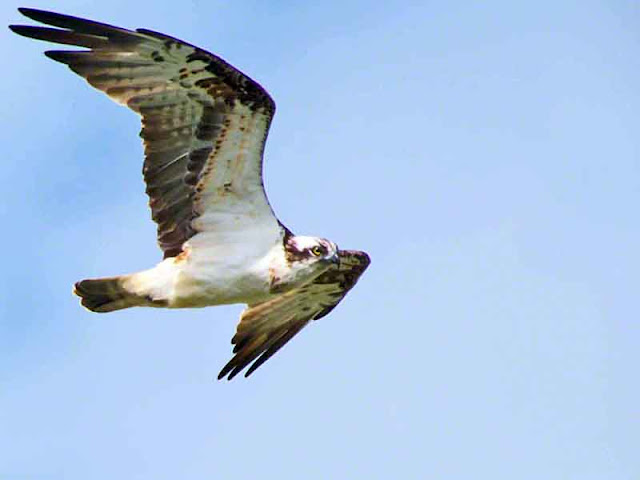 Osprey, flight, bird, Kin Dam, Okukubi River, Okinawa