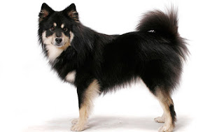 Everything about your Finnish Lapphund