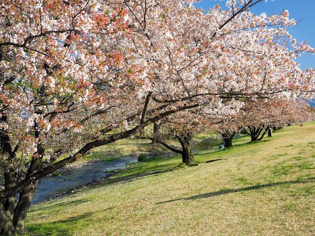 信玄堤 桜