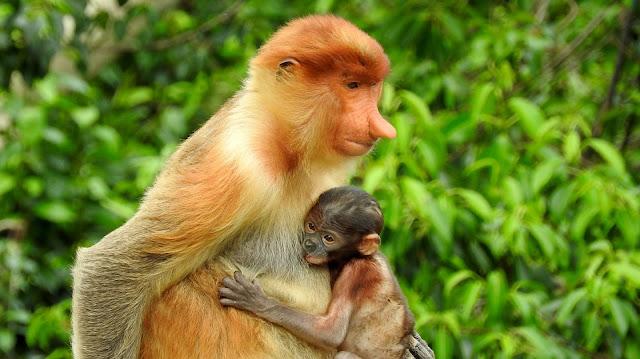 Proboscis monkey Sarawak Curitan Aqalili