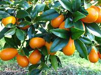 kumquat - el kinoto - Fortunella spp.