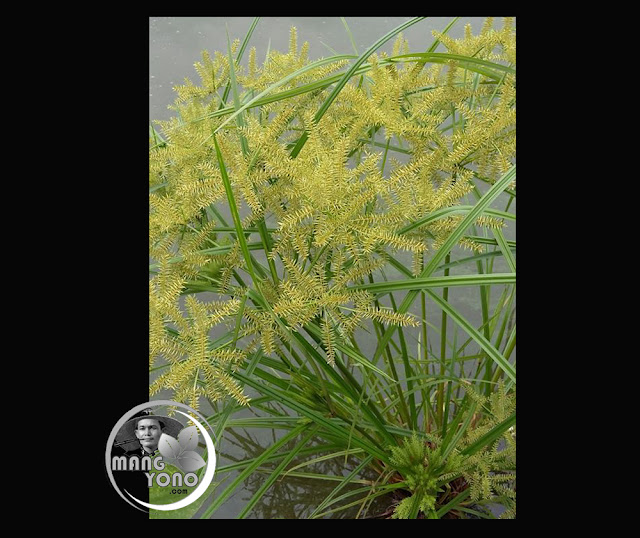 Rumput Jekeng untuk mengobati batuk