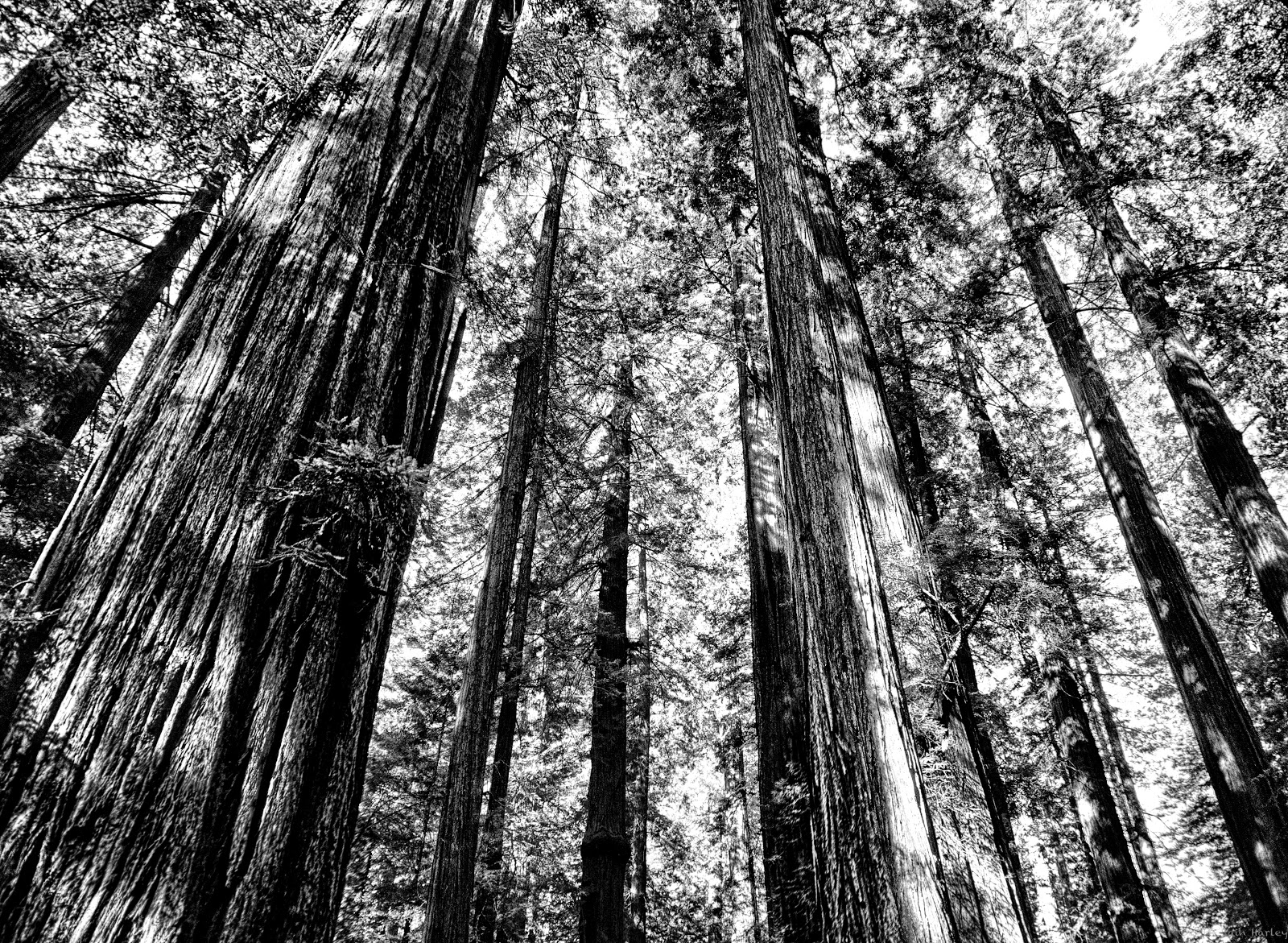 B&W Redwood Grove
