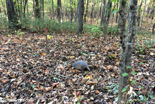 armadillo spotting at indian springs state park