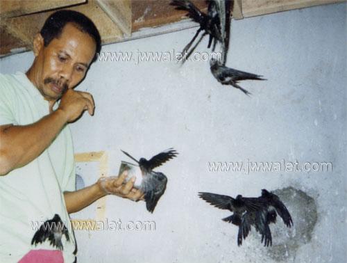 Yen Kdh Swiftlet BloG Perbezaan Burung Walit Dan Seriti