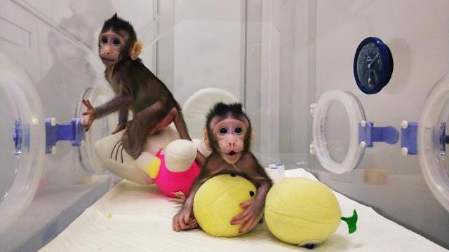 Buongiornolink - Clonate le prime scimmie con il metodo della pecora Dolly