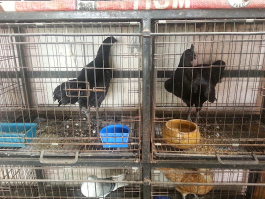 Ayam Cemani Betina For Sale