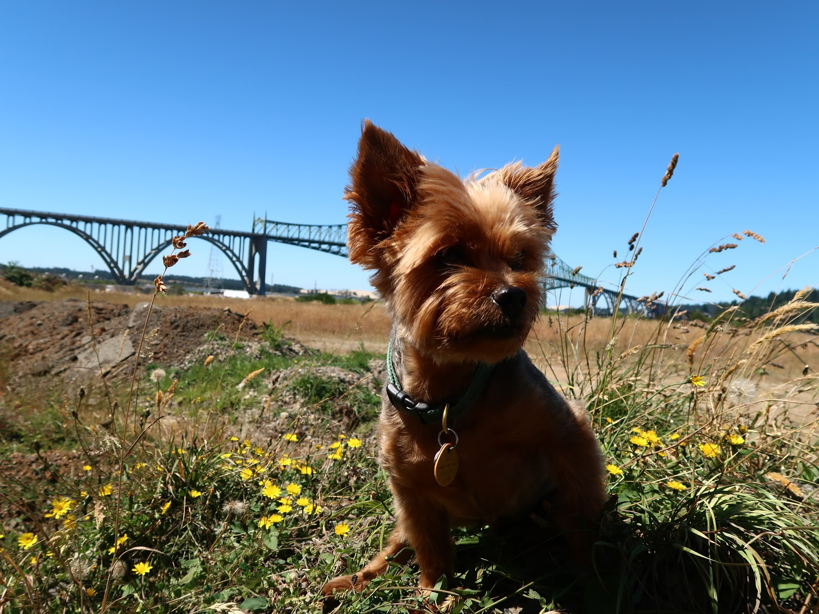 Yorkshire Terrier Nick Enjoys The Sun On A Late Summer Hike With Us Near  Coos Bay, Oregon, A Splendid Retreat. This Quiet But Active Corner Of  Oregon Offers ...