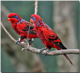 Salah satu burung endemik Indonesia ini di dunia internasional dikenal dengan nama  Mengenal Burung Nuri Tanimbar