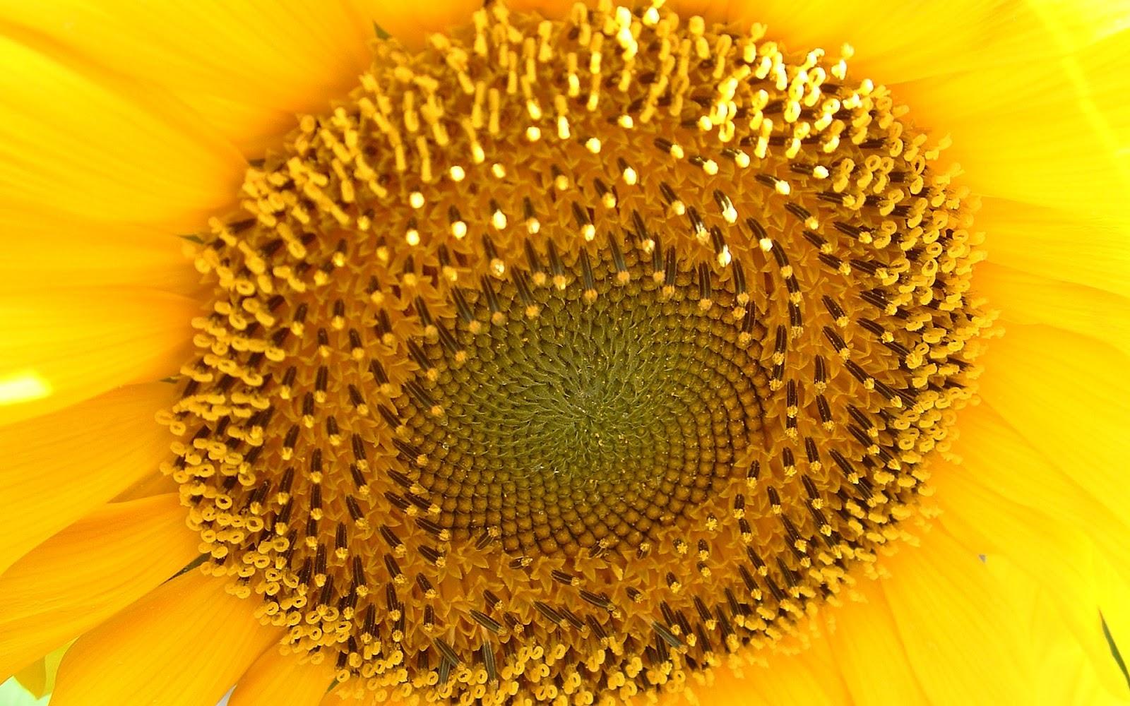 HD Sunflowers Wallpapers ~ Top Best HD Wallpapers For Desktop