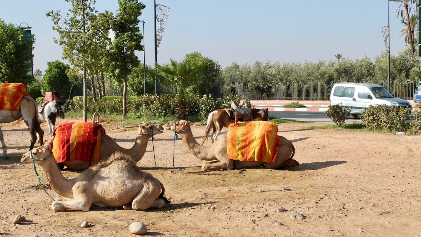 Camels Chilling On The Streets Of Marrakech