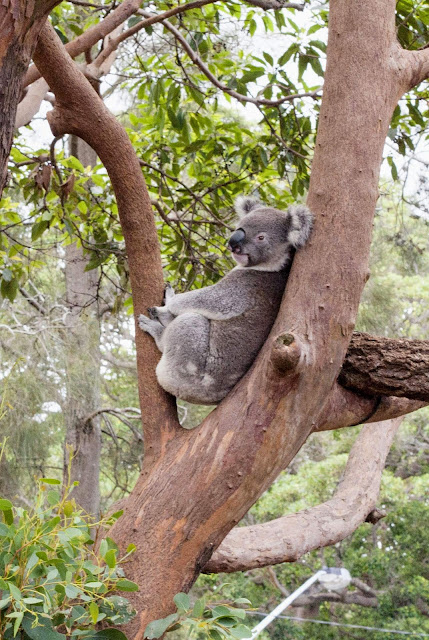 Taronga Zoo animals: Koala in a tree