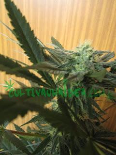 EC cannabis