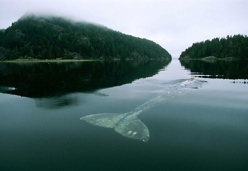 Wal auf der Wasseroberfläche schwimmend