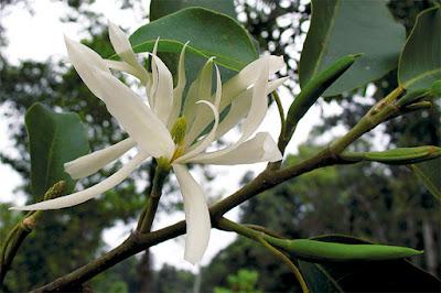 จำปีป่า (จุมปี) จำปีพื้นเมืองของไทย ไม้ไทยดอกหอม ดอกสีขาว ดอกมีกลิ่นหอม