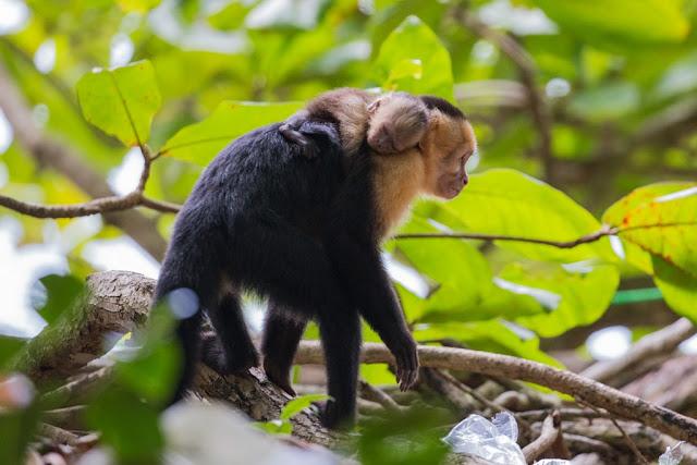 Mono carablanca con su cría en el Parque Nacional Manuel Antonio, Costa Rica