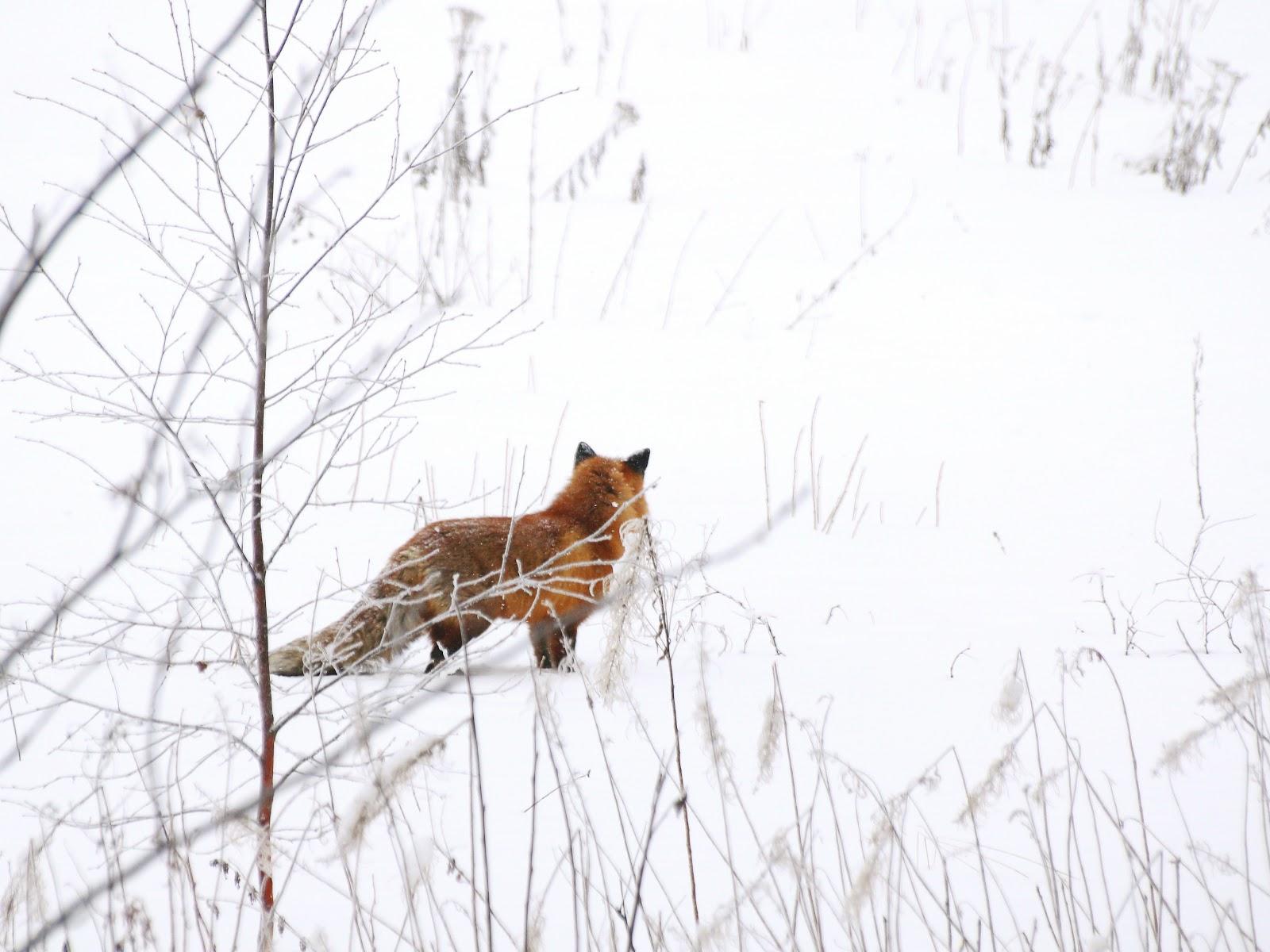 Räv fox snow photographer Norrland Sweden Maria-Thérèse Sommar fotograf Härnösand High Coast