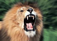 Korkunç bir aslan kükremesi