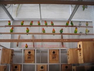 Cara Beternak Lovebird Khusus untuk Pemula