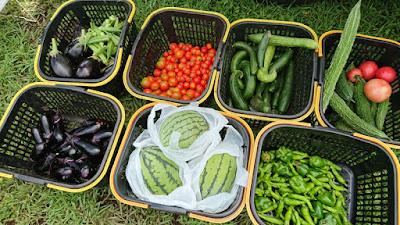 収穫した夏野菜と小玉スイカ