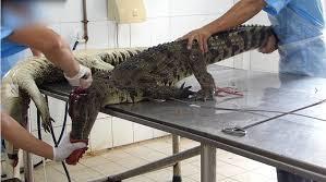 Descubren un cocodrilo en plena calle de Quibdó