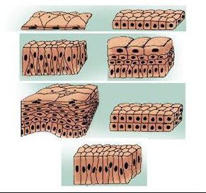 Permalink ke Struktur Dan Fungsi Jaringan Binatang Vertebrata