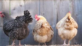 Έτσι ζευγαρώνουν οι κότες