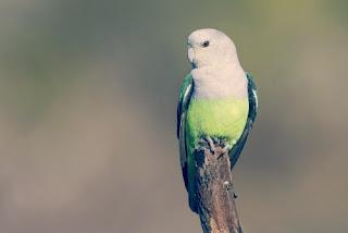 Jenis Burung Lovebird Madagaskar yang Bagus