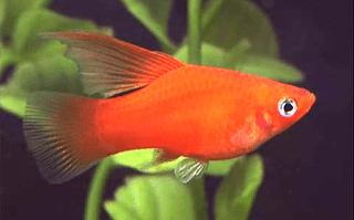 Ikan Platy Hifin