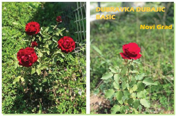 Ruže crvene iz Novog Grada