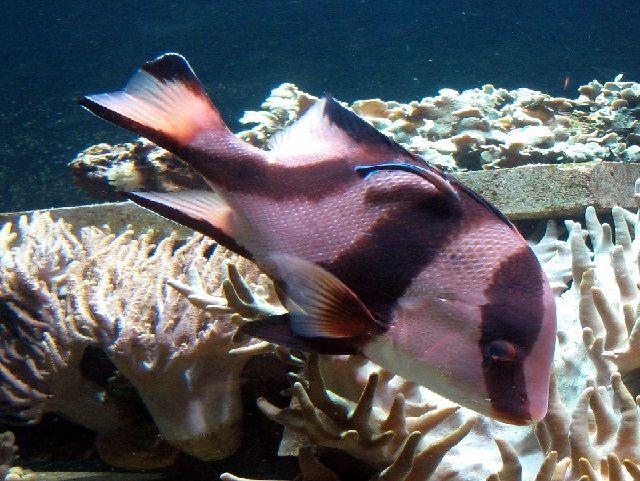 Budidaya Ikan Kakap GAJAH
