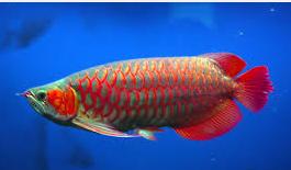 Ikan Hias Air Tawar Termahal warna bagus