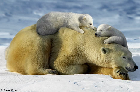 Wandering Brook: Polar Bear Cubs Emerge From Winter ...